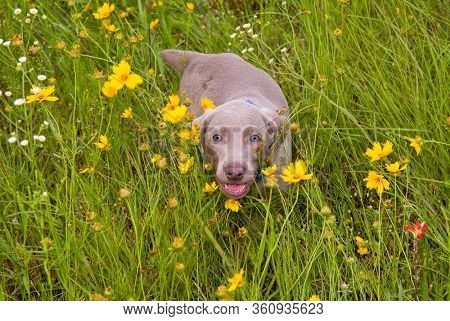 Small Weimaraner puppy in tall grass among yellow flowers