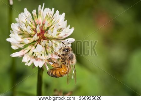 Honey bee on white clover flower, collecting nectar; with copy space