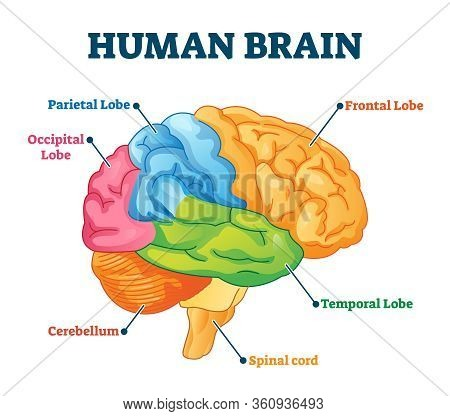 Human Brain Vector Illustration. Labeled Anatomical Educational Head Organ Parts Scheme Separated By