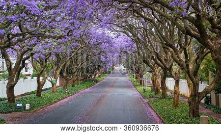 Tall Jacaranda Trees Lining The Street Of A Johannesburg Suburb In The Afternoon Sunlight, South Afr