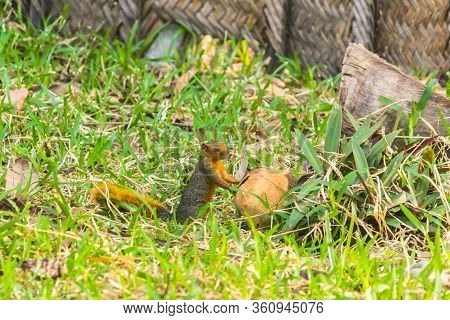 The Squirrell With Coconut On The Grass