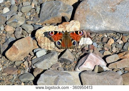 Aglais Io, The European Peacock Known As Peacock Butterfly On Stones. Far East, Russia