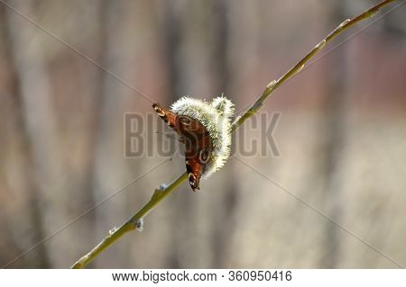 Aglais Io, The European Peacock Known As Peacock Butterfly On Pussy Willow. Far East, Russia