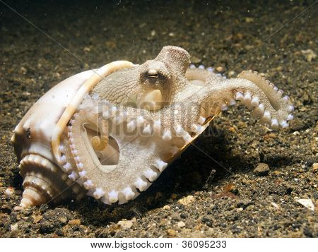 Coconut Octopus taking shelter in seashell, Lembeh Strait, Sulawesi, Indonesia poster