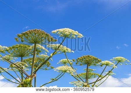 Heracleum Sosnowskyi On Blue Sky Background. All Parts Of Heracleum Sosnowskyi Contain The Intense T