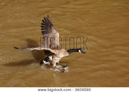 stretched wingspan of a canada goose landing on muddy water poster