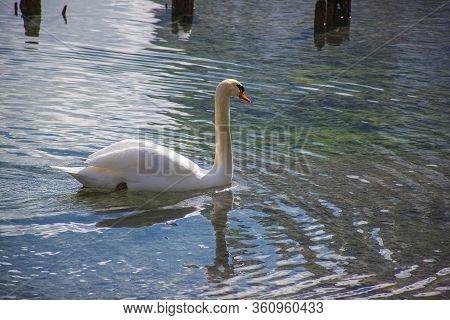 Beautiful White Swan Sunbathing In The Lake Of Dobbiaco Still Frozen In The Splendid Dolomites