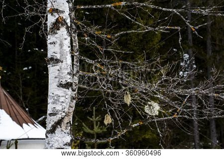Close-up Of A Birch Trunk With Leafless Branches In Winter In The Dobbiaco Dolomites, Italy