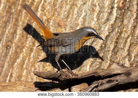 Cape Robin Sitting On A Dead Branch Looking For Some Food