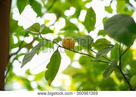 Mandarin On The Tree. Beautiful Green Mandarin Tree