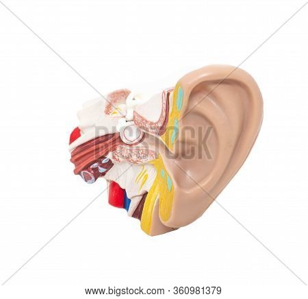 Mock Ear With Eardrum And Auditory Tube On A White Background, Isolate. The Concept Of Diseases In O