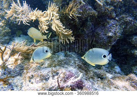 An Underwater Photo Of A Four Eyed Butterflyfish Or Chaetodon Capistratus, Is Found In The Western A