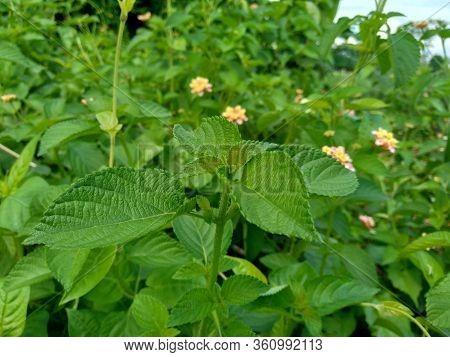 Lantana Camara (common Lantana, Big Sage, Wild-sage, Red Sage, White Sage, Tick Berry, West Indian L
