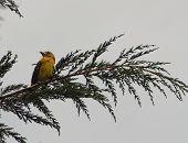 A Golden Bellied Grosbeak perched on a branch near Cotacachi, Ecuador poster