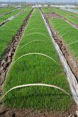 Fresh green rice seedlings at asia farm poster