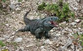 Blue Iguana at the Recovery Programme of  Grand Cayman, Cayman Islands, Caribbean poster