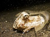 Coconut Octopus in a broken whisky bottle, Lembeh Strait, Sulawesi, Indonesia. poster
