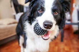 Funny Portrait Of Cute Smilling Puppy Dog Border Collie Holding Toy Ball In Mouth. New Lovely Member