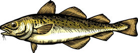A Drawing Of A Cod