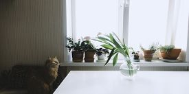 Red Cat With Yellow Eyes Sitting On Chair And Waiting Something. Pink Tulips In Vase On White Table.