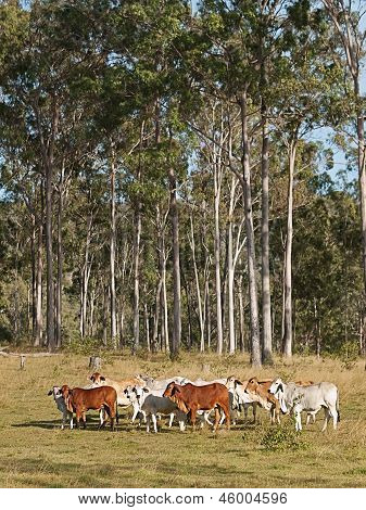 Australian beef cattle herd of cows on ranch with tall eucalyptus gum tree forest background poster