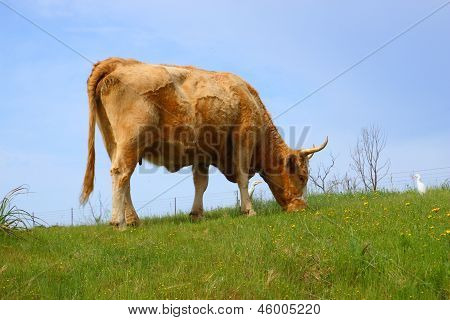 Brown freckled cow