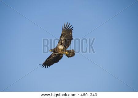 Young Bald Eagel In Flight