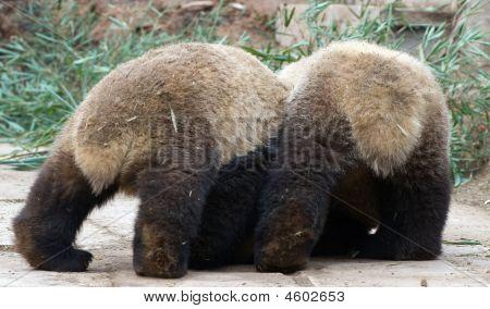 Two Panda Bottoms