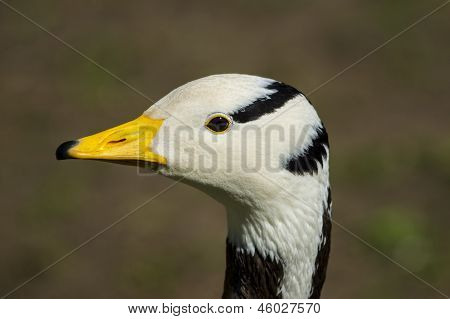 Portrait Of Bar-headed goose / Anser indicus