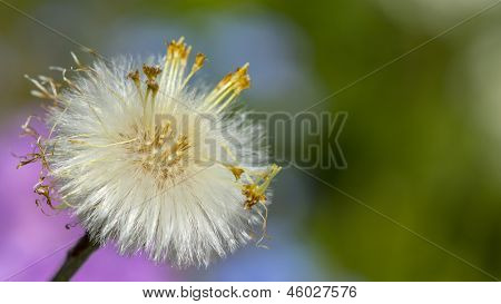 Dandelion seed On A Colorful Blurred Background