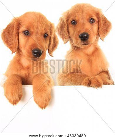 A golden Irish/ red Retriever puppies. A hybrid between a golden retriever and an Irish setter.