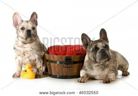 dirty dogs - two french bulldogs ready for a bath isolated on white background