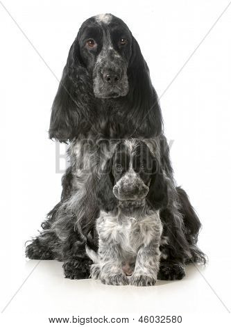 dog mother and puppy - english cocker spaniel mother and puppy - 7 weeks old poster