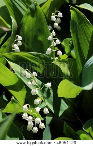 Green Sprouts Of Lilies Of The Valley In Spring