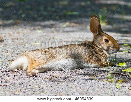 Swamp Rabbit (Sylvilagus aquaticus) lying on a path poster