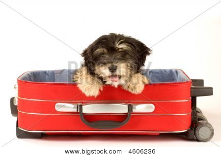 Cute Puppy In The Suitcase Isolated