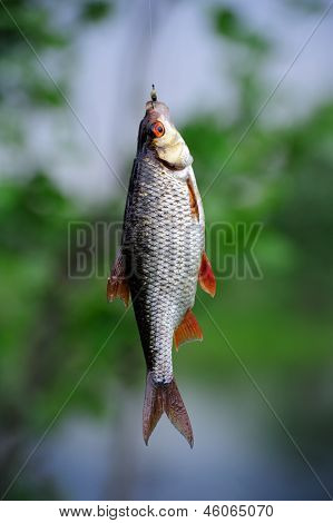 A roach fish (Rutilus rutilus) hanging on the hook poster