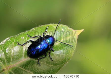 Beetle On Green Leaf