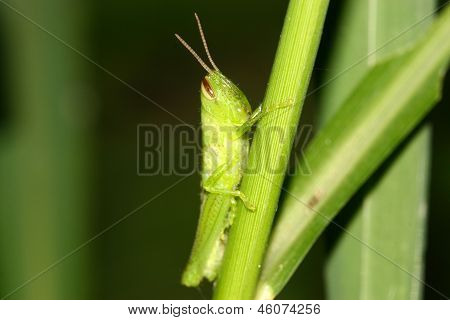 Locust On Green Plant In The Wild