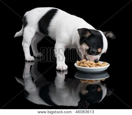 Puppy Of Chihuahua Eats Dog Food