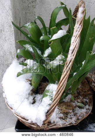 Snow Hyacinth