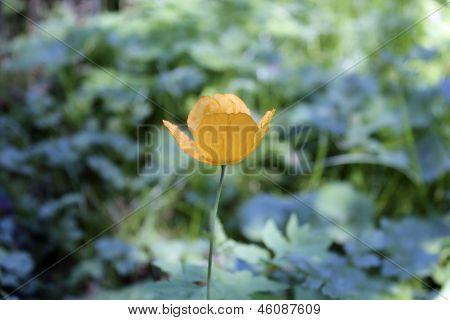 Single Yellow Poppy