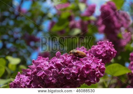 Bug cockchafer and lilac flower