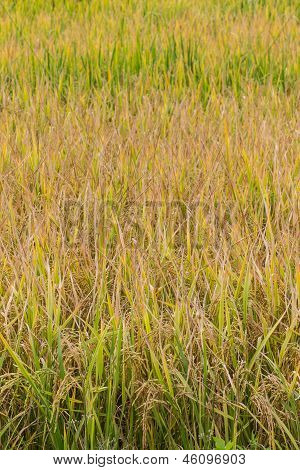 Golden Fields In Summer , Chiangmai Northen Thailand