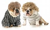 humanized dogs - two english bulldogs wearing wigs and dressed in clothing isolated on white background poster