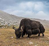 Yak grazing in Himalayas. Ladakh, India poster
