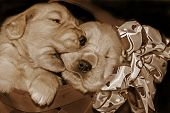 Golden retriever puppies in a basket in sepia tones. poster