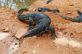 large lizards (Varanus salvator) native to Southern Asia near reservoir top view Sri Lanka poster