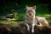 A beautiful North American Coyote (Canis latrans) stares into the camera as it lies on a dirt patch in a Canadian forest. poster
