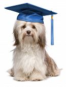 Beautiful proud graduation chocolate havanese dog with blue cap isolated on white background poster